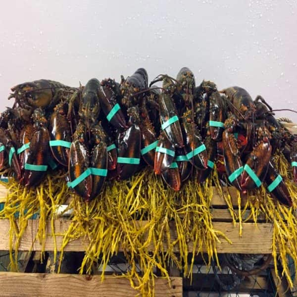 20lb Live Maine Lobster $145 Free Shipping