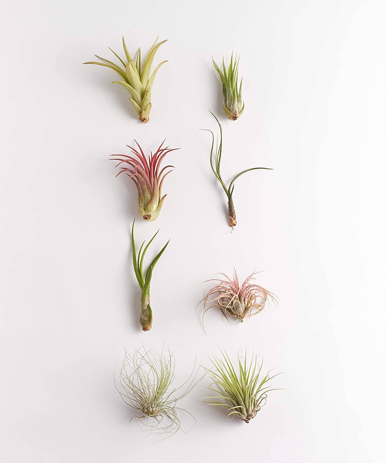 8-Pack Purifying Live Indoor Air Plants $12 ($1.50 each) + Free Shipping w/ Prime or on $25+