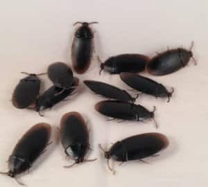 12- Fake Roaches Prank Novelty Cockroach Bugs Look Real : $0.87 (free shipping)