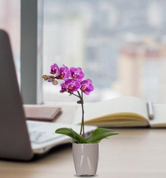 Florists.com: Purple Mini Desk Orchid - $22 shipped