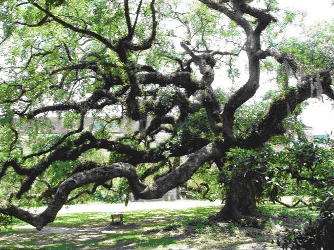 Live Oak Trees $7 @ Walmart BM YMMV