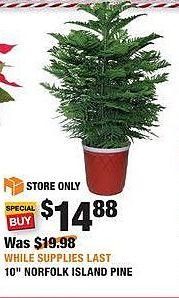 "Home Depot Black Friday: 10"" Norfolk Pine for $14.88"