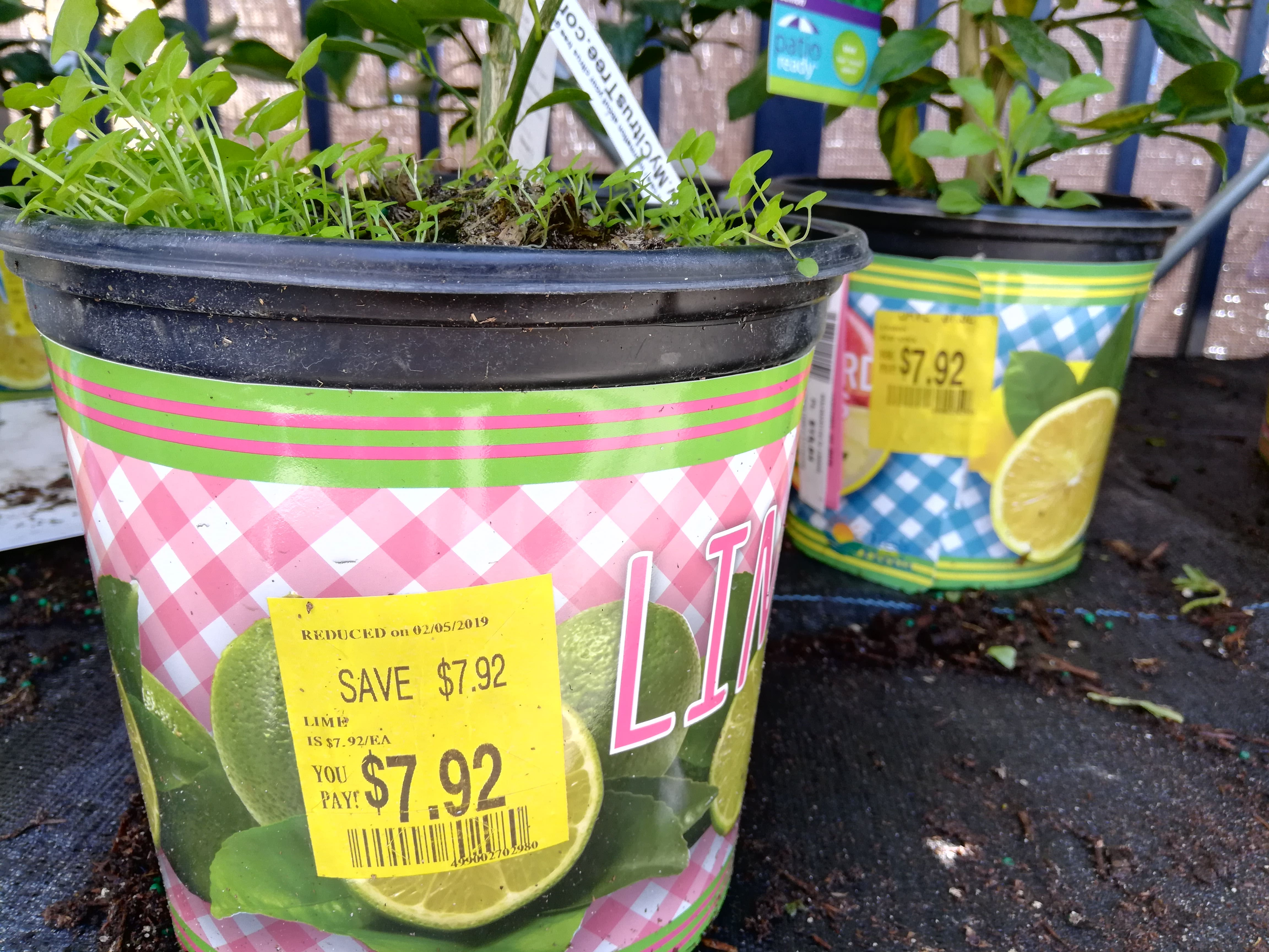 Southeast YMMV- Walmart lemon/lime patio citrus clearance $8