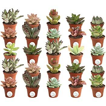 Costa Farms Various Succulents Indoor Plants 25-Pack, Grower's Choice, 2-Inches Tall $34.20