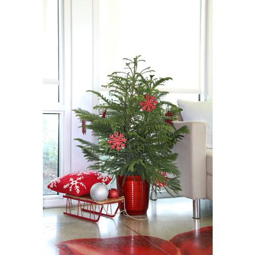 Delray Plants 3-Foot Norfolk Island Pine Tree w/ In-Store Pickup $29.13