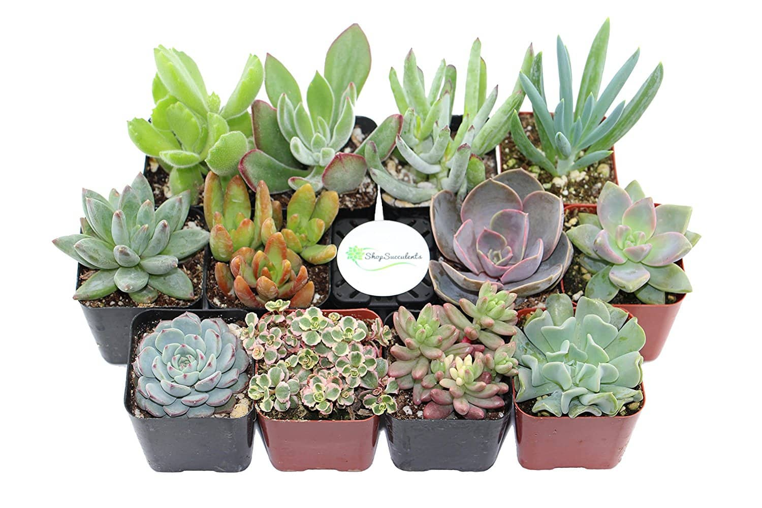 Shop Succulents Unique Succulent (Collection of 12) $24.74 FS w/ Prime @Amazon