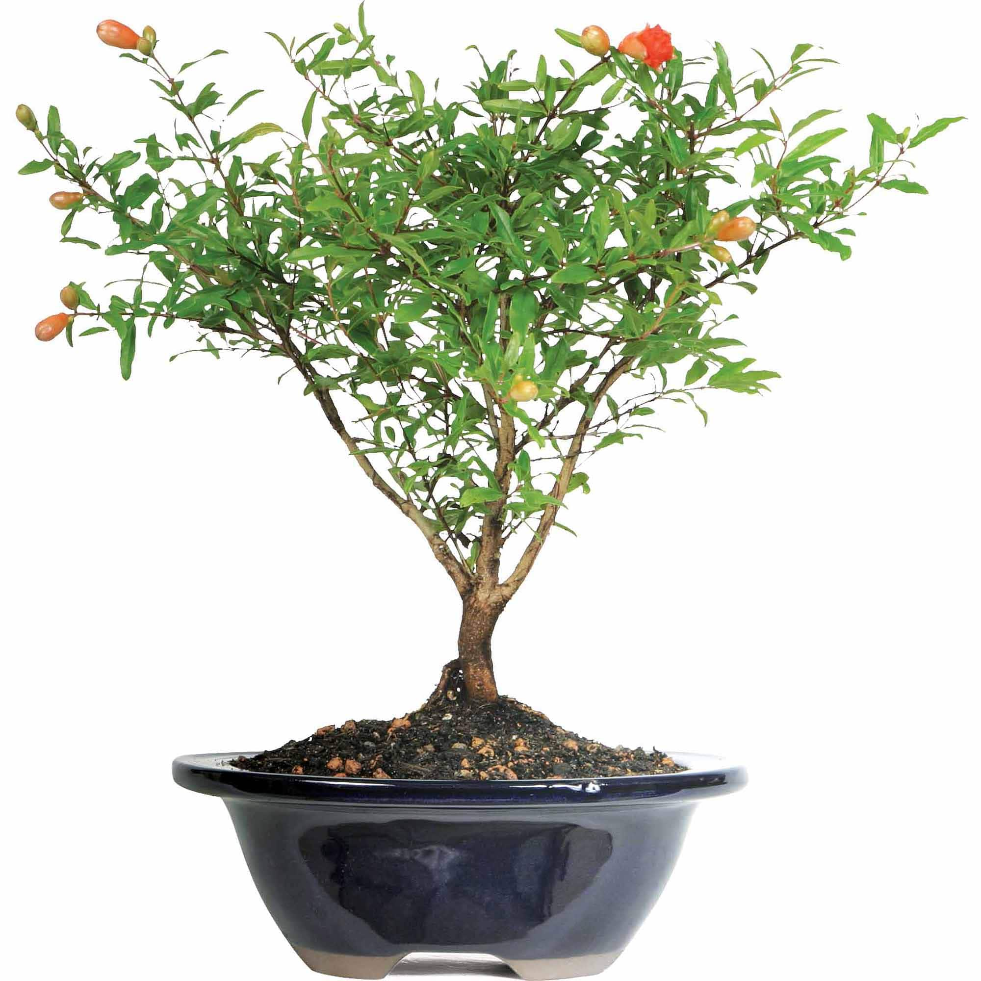 Pomegranate Bonsai Tree $24 + Free Store Pickup @ Walmart