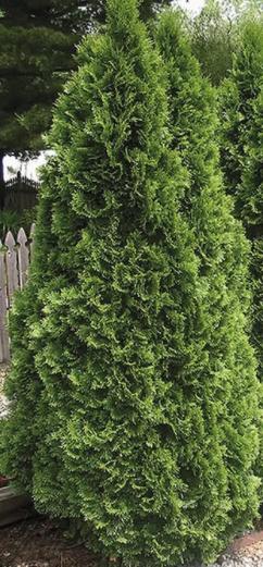 5-Quart Emerald Green Arborvitae Screening Shrub in Pot $40 ea. w/ multibuy at Lowe's