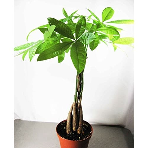 9GreenBox - Rare Mini Pachira Five Braided Tree Bring Luck Pachira Houseplant Bonsai $16 shipped @walmart