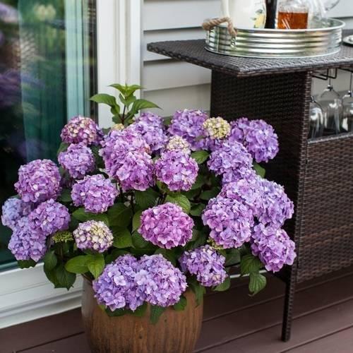 1-Gal Endless Summer Hydrangea Shrub $19.96